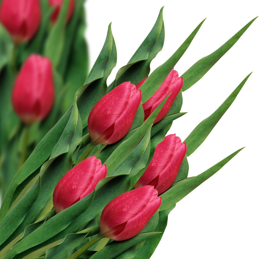 tulip-3515181_1920.jpeg